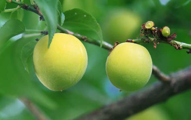 桃树的种植技术