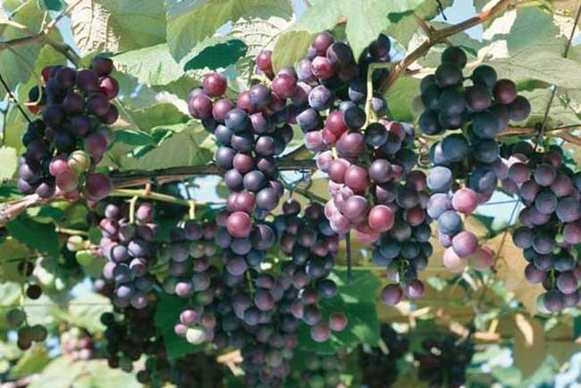 夏黑葡萄种植技术