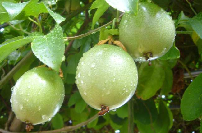 百香果种植前景