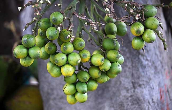 槟榔种植技术