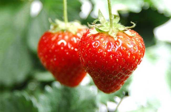 草莓怎样种植