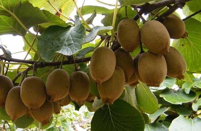 猕猴桃种植条件