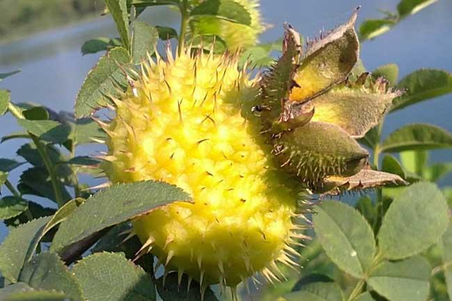刺梨种植的果园管理技术