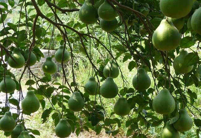 怎样对柚子促花结果