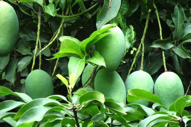 [芒果采摘后管理技术]芒果种植与管理技术