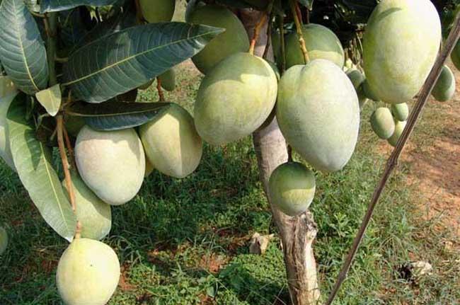 芒果种植技术