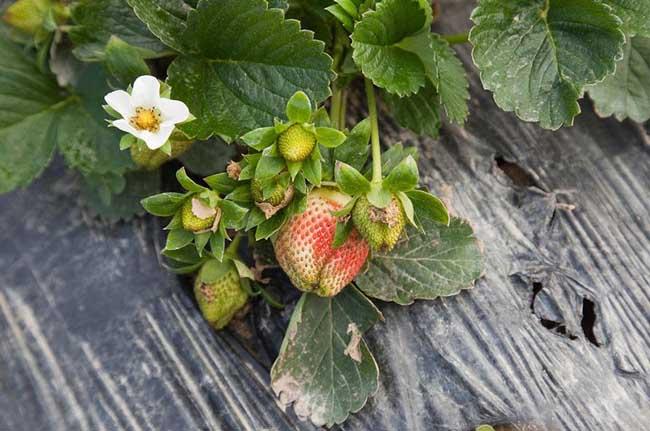 草莓种植技术
