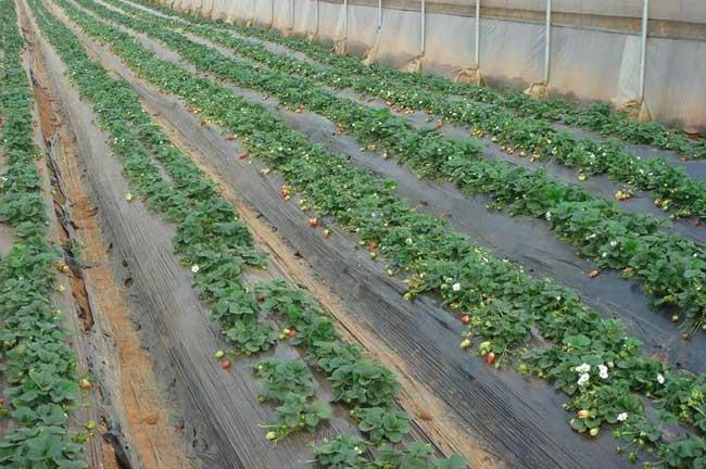 草莓种植技术信息|草莓种植技术