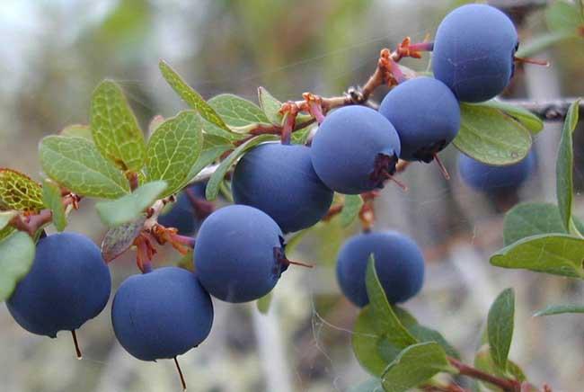 [蓝莓种植技术和管理]蓝莓种植技术