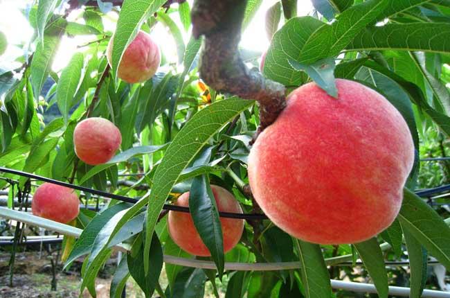 桃子栽培技术