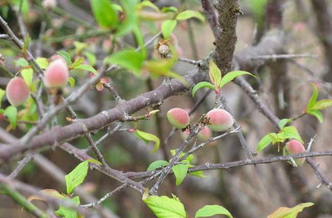 梅子种植技术