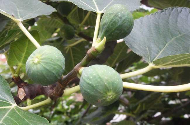 多数栽培品种属于其中的普通无花果类群,在隐头花序中只有雌花,不需