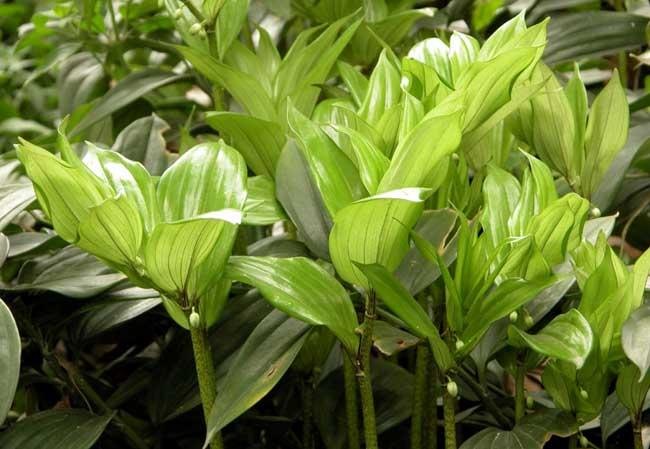 玉竹栽培技术