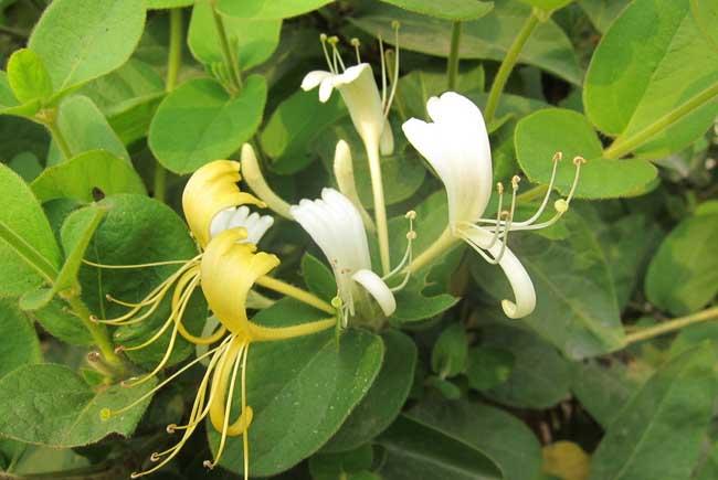 金银花种植前景