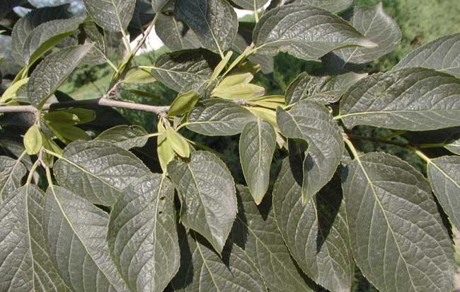 杜仲的种植技术