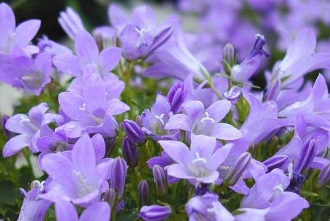桔梗花的花语和传说