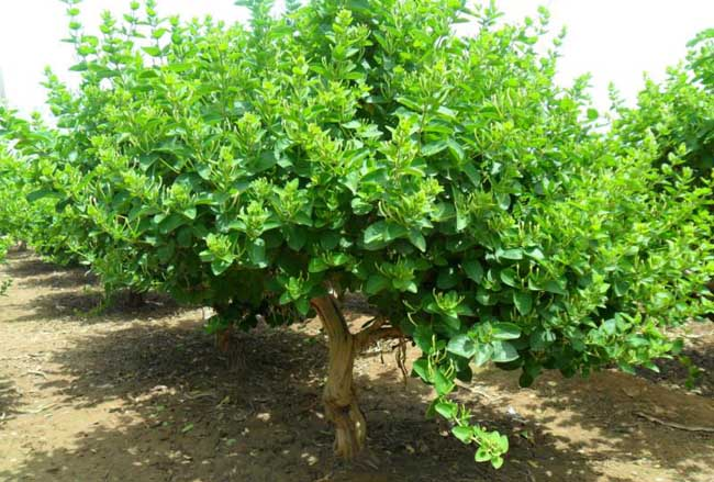 金银花种植的树形整修法