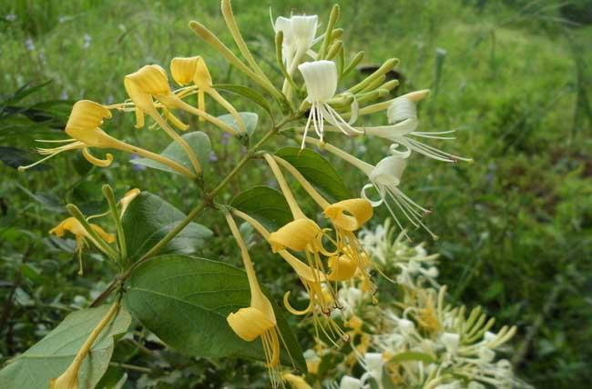 金银花的繁殖方法