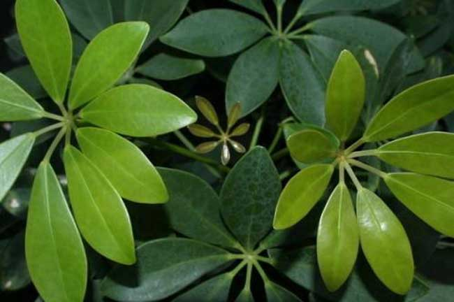 发财树种植和养护管理技术