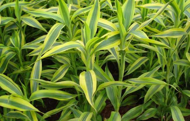 富贵竹栽培技术