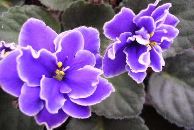 紫罗兰栽培技术