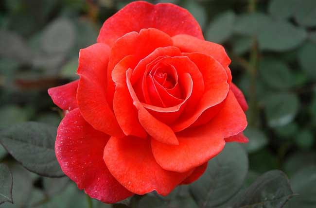 玫瑰花栽培技术