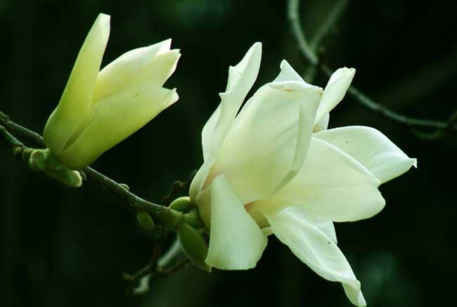 白兰花的栽培技术