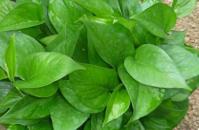 绿萝吊兰养殖方法