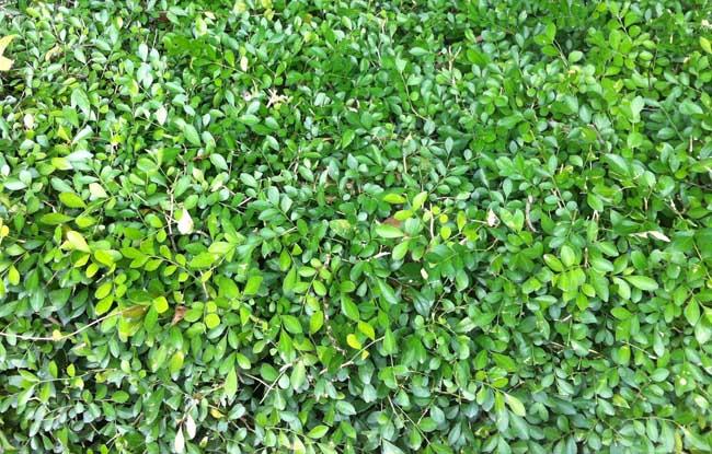 小叶黄杨盆景的制作与养护方法