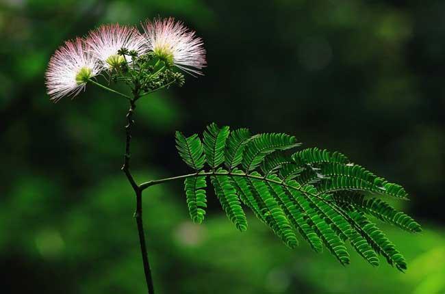 合欢花花语是什么