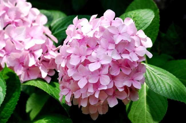 绣球花的花语