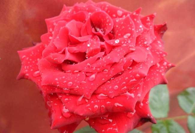 玫瑰花的功效与作用