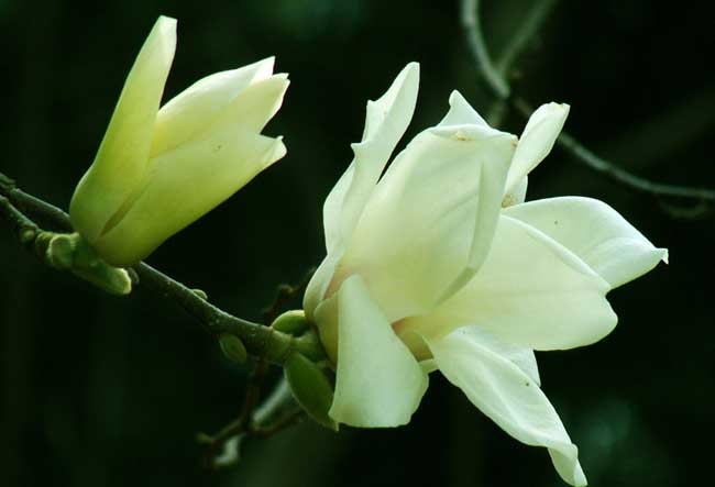 盆栽的白兰花该怎么养?