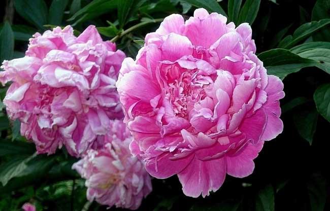 盆栽牡丹花怎么养