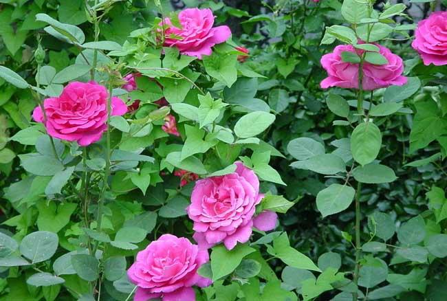 月季和玫瑰的区别