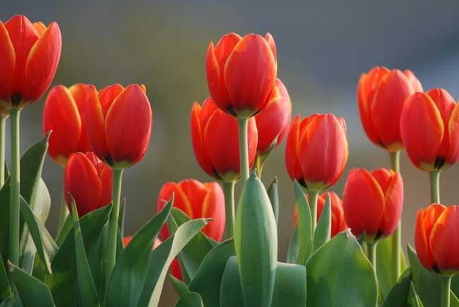 郁金香的养殖方法