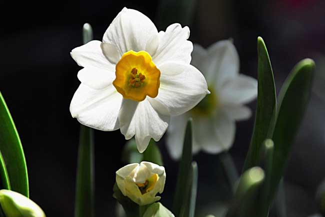 水仙花有毒吗