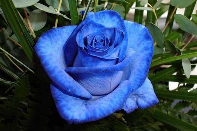 蓝色妖姬的花语