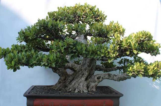 盆景榕树怎么养