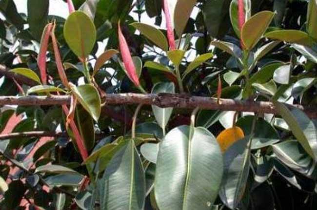 橡皮树扦插