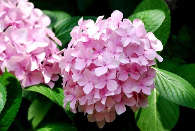 绣球花的繁殖方法