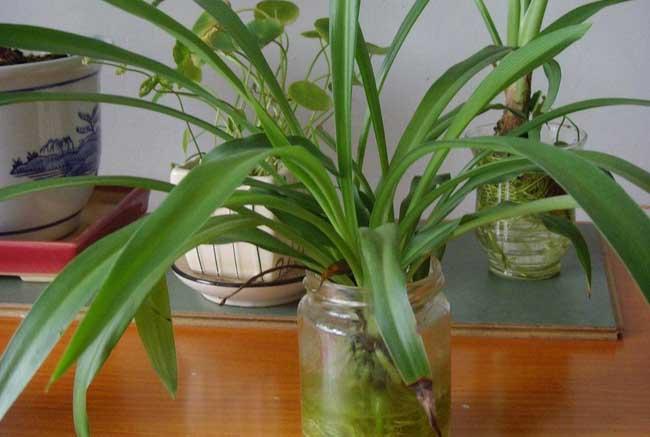 水培吊兰的养殖方法