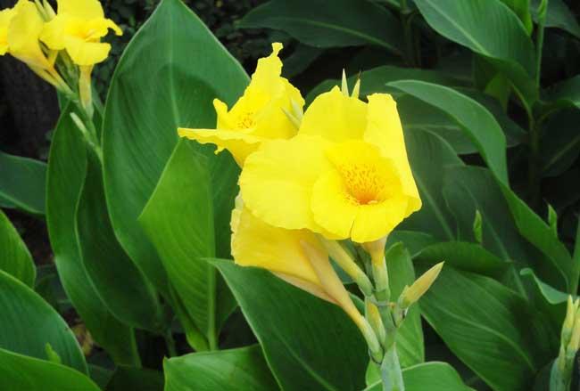 美人蕉盆栽的栽培方法