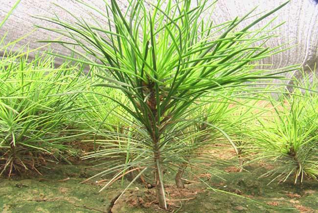 白皮松的种植技术