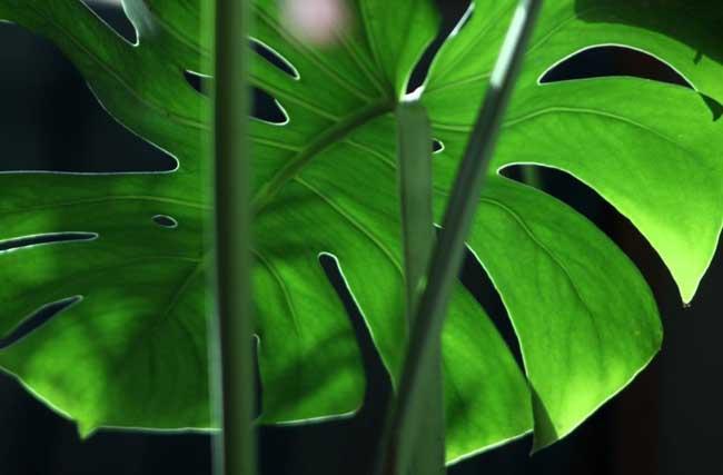 龟背竹的养殖方法