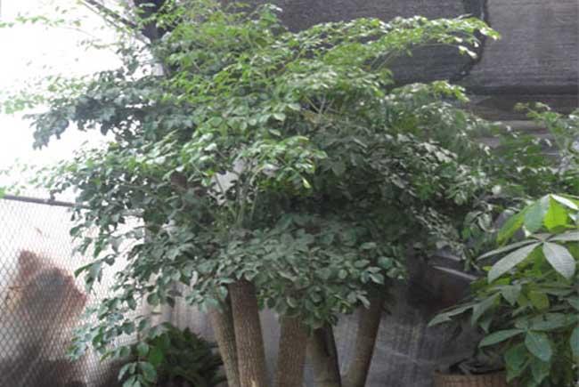 幸福树的养殖方法和注意事项