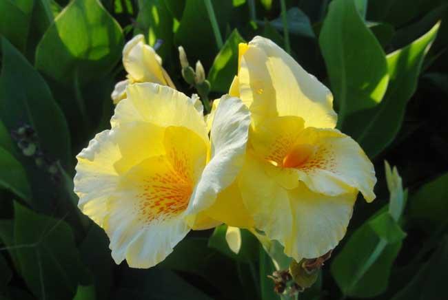 美人蕉盆栽养殖方法