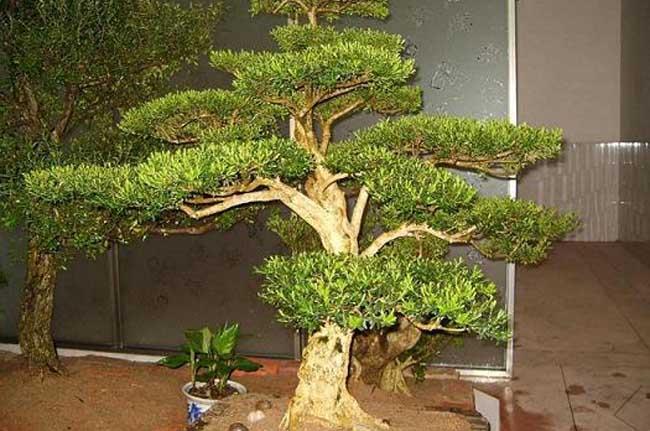 黄杨木盆景的养护管理
