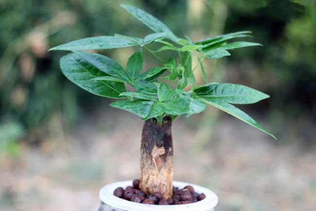 发财树养护