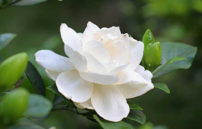 栀子花的花语